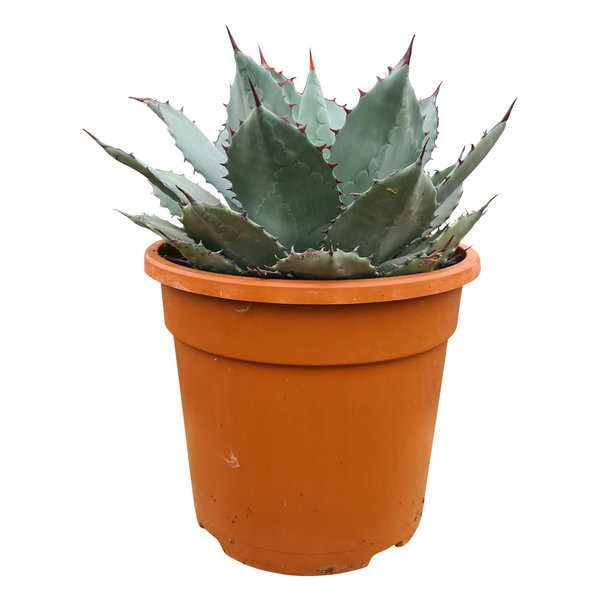 """Agave truncata """"hybride"""" (pot C-25)"""