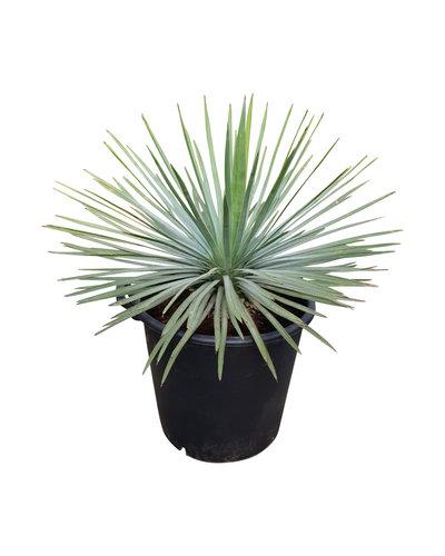 Yucca whipplei (pot 35 liter)