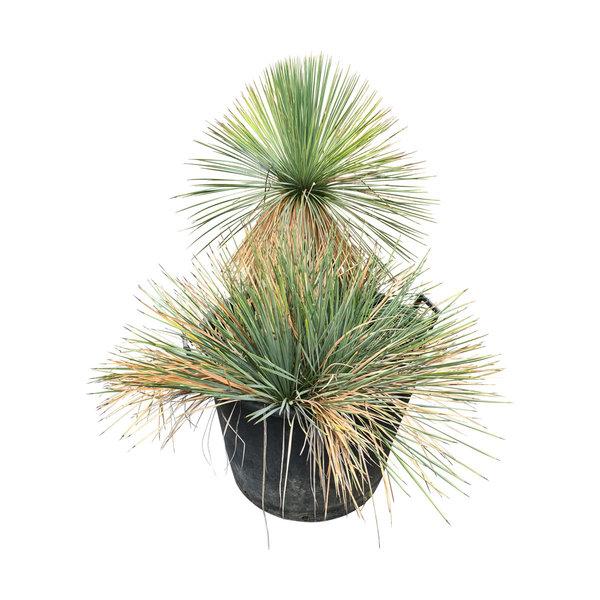 Yucca linearifolia (YLM-3)