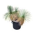 Yucca linearifolia (YLM-8)