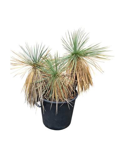 Yucca linearifolia (YLM-1)