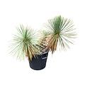 Yucca linearifolia (YLM-6)