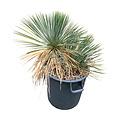 Yucca linearifolia (YLM-7)