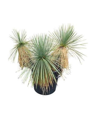 Yucca linearifolia (YLM-4)