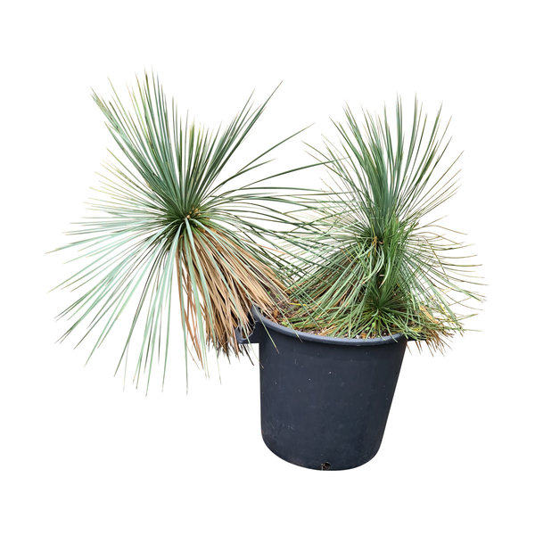 Yucca linearifolia (YLM-5)