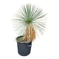 Yucca linearifolia (YLM-2)