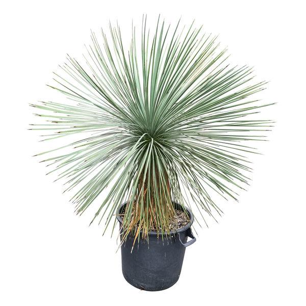 Yucca linearifolia (YLS-27)
