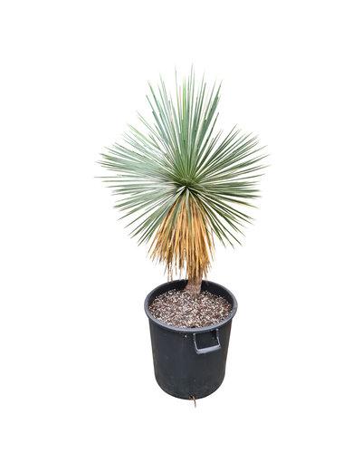 Yucca linearifolia (YLS-21)