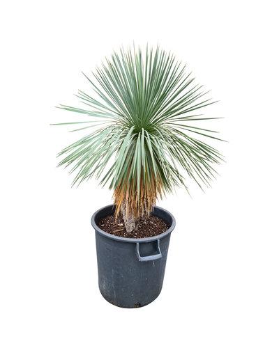 Yucca linearifolia (YLS-11)