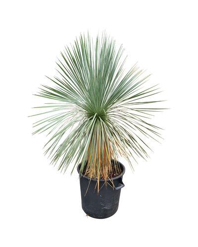 Yucca linearifolia (YLS-8)