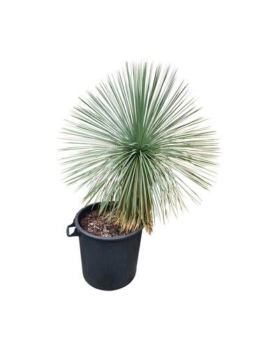 Yucca linearifolia (YLS-17)