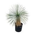 Yucca linearifolia (YLS-18)