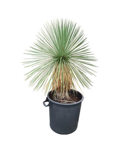 Yucca linearifolia (YLS-10)