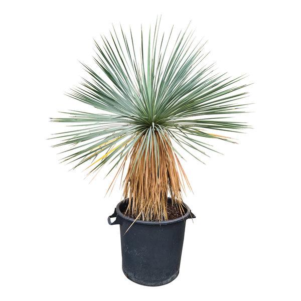 Yucca linearifolia (YLS-19)