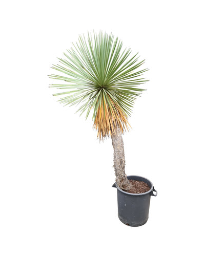 Yucca linearifolia (YLS-22)