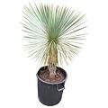 Yucca linearifolia (YLS-23)