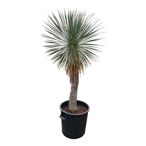 Yucca linearifolia (YLS-1)
