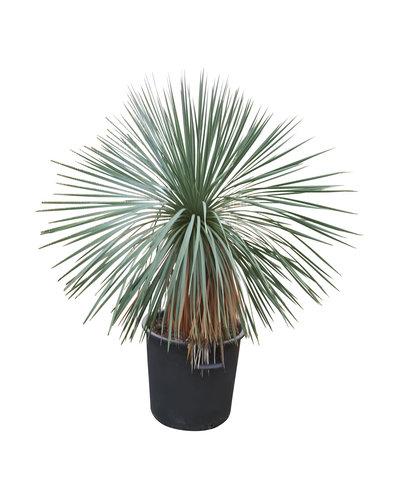 Yucca linearifolia (YLS-2)