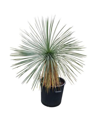 Yucca linearifolia (YLS-3)