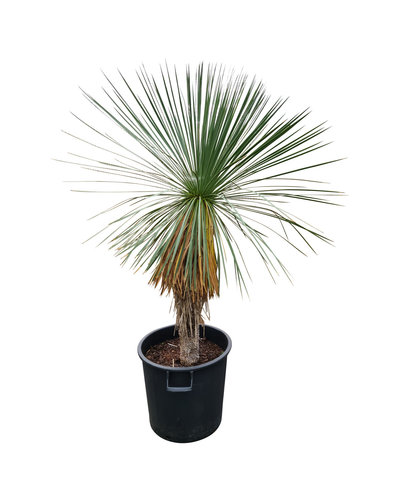 Yucca linearifolia (YLS-5)