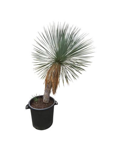 Yucca linearifolia (YLS-14)