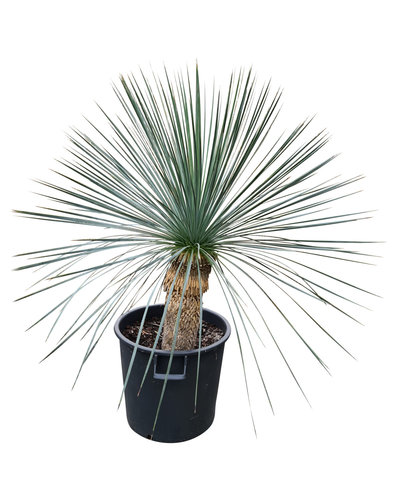 Yucca linearifolia (YLS-6)