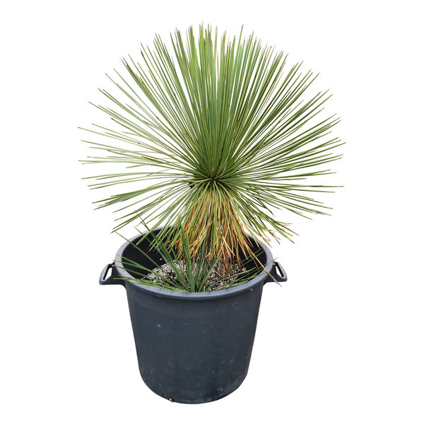 Yucca linearifolia (YLS-28)