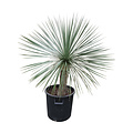 Yucca linearifolia (YLS-13)