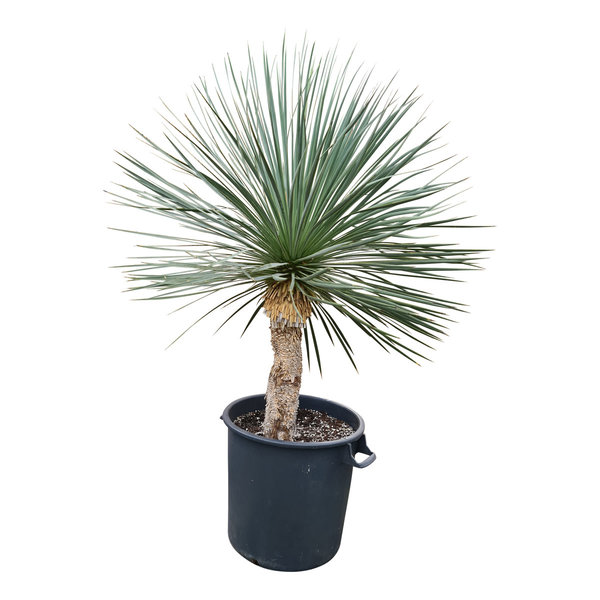 Yucca linearifolia (YLS-16)