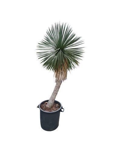 Yucca linearifolia (YLS-20)