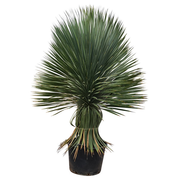 "Yucca rostrata ""Superior"" XXL (YXL-1)"