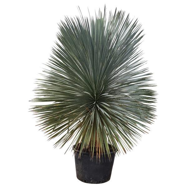"Yucca rostrata ""Superior"" XXL (YXL-2)"