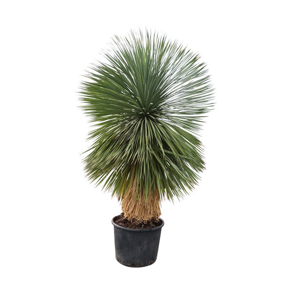"Yucca rostrata ""Superior"" XXL (YXL-3)"