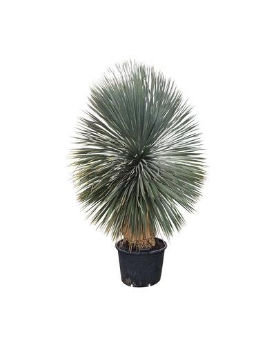 "Yucca rostrata ""Superior"" XXL (YXL-5)"