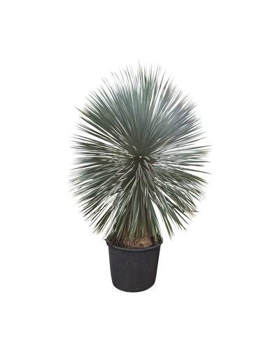 "Yucca rostrata ""Superior"" XXL (YXL-6)"