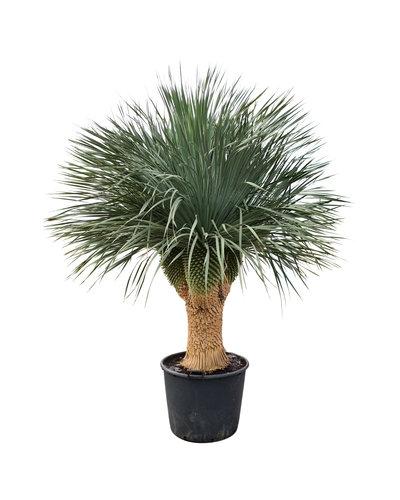 "Yucca rostrata ""Multihead"" XXL (YRS-3)"