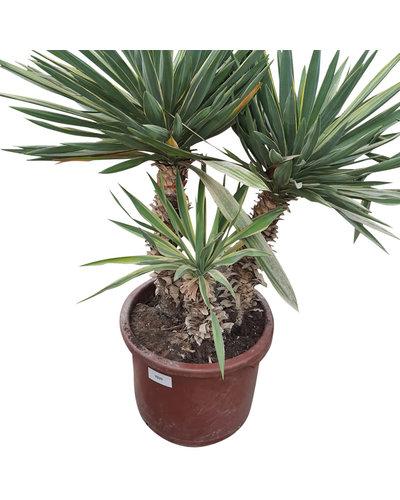Yucca gloriosa variegata (YGV-3)