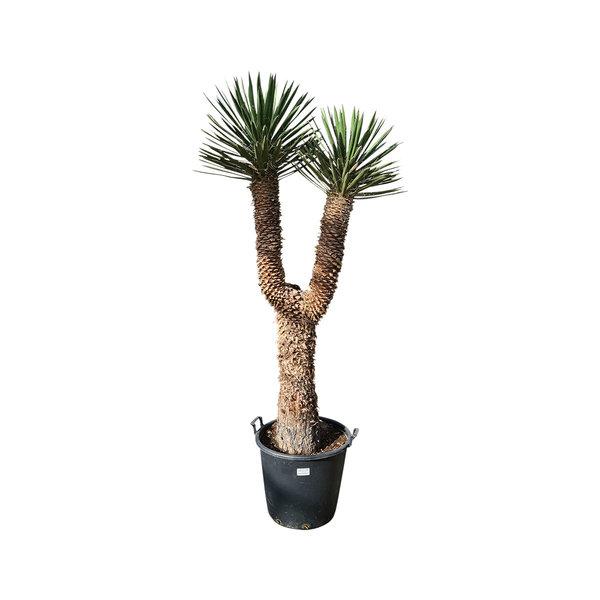 "Yucca filifera ""Multihead""  (YFM-12)"