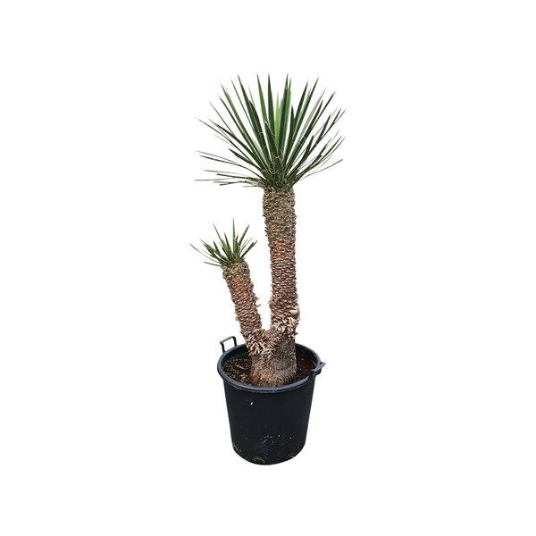 "Yucca filifera ""Multihead""  (YFM-13)"