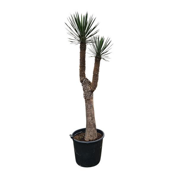"Yucca filifera ""Multihead""  (YFM-14)"