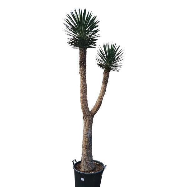 "Yucca filifera ""Multihead""  (YFM-7)"
