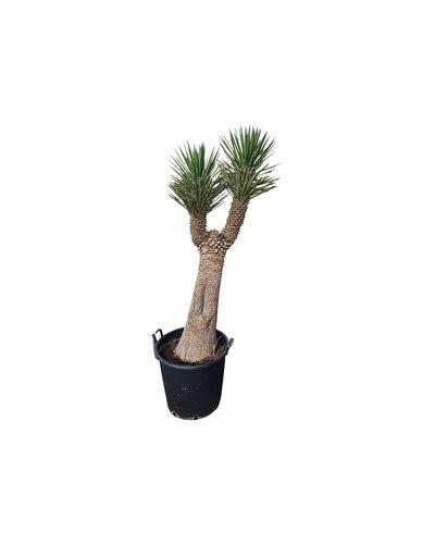 "Yucca filifera ""Multihead""  (YFM-9)"