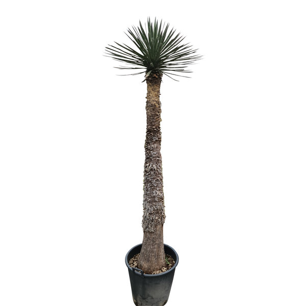 Yucca filifera australis (YFS-1)