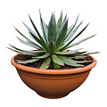 Agave red edge (schaal 50 cm)
