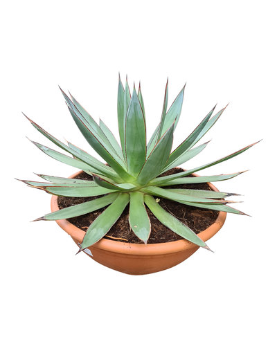 Agave red edge (schaal 40 cm)