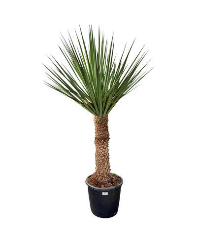 Yucca treculeana YTB-1 (stam 110 cm)