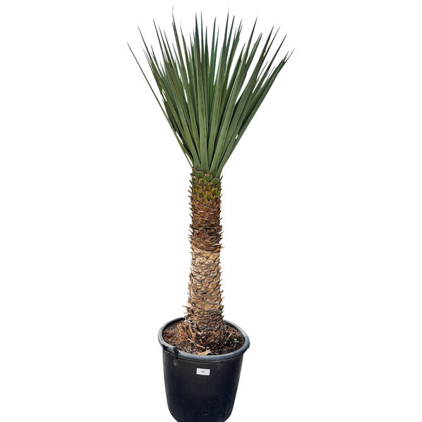 Yucca treculeana YTB-2 (stam 110 cm)