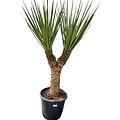 "Yucca treculeana ""Multihead"" YTM-0"