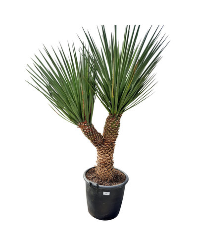 "Yucca treculeana ""Multihead"" YTM-1"