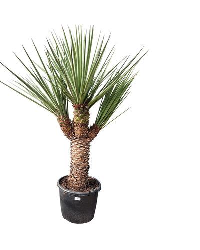 "Yucca treculeana ""Multihead"" YTM-2"